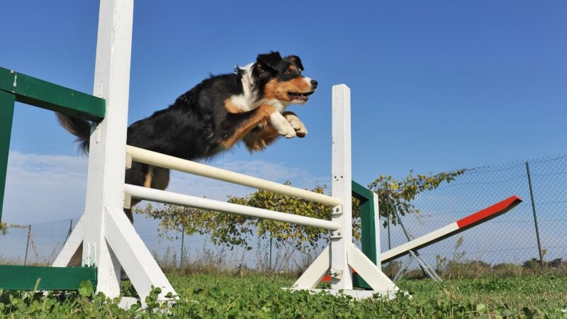 circuito agility perros madrid