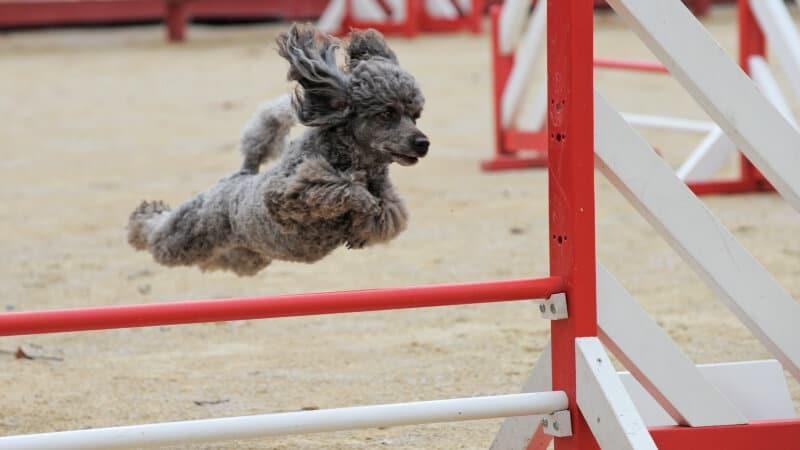 como hacer un circuito de agility para perros